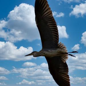 青空を飛ぶ大鳥☆彡