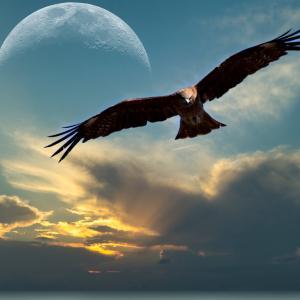 夕暮れの中を飛ぶ鷹☆彡