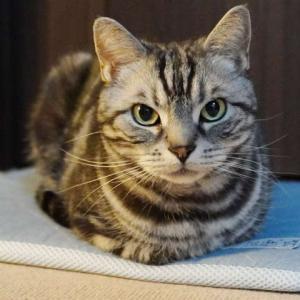 きれいな香箱をつくる猫