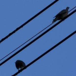 鳩の巣 観察日記