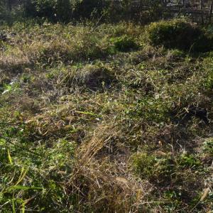 自家採取、日本ほうれん草の種まきとか