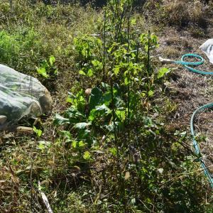 庭畑からの収穫、自生小松菜とか