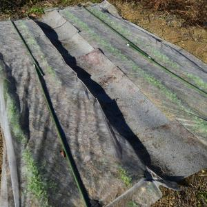 自家採取1代目の日本ほうれん草と無肥料栽培小松菜の発芽