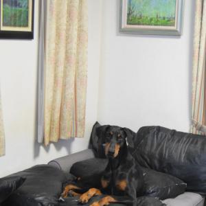 我が家の愛犬、ドーベルマンの女の子 ココア