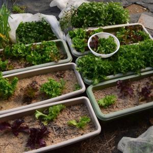 玄関前プランター栽培葉物野菜を収穫して一杯です