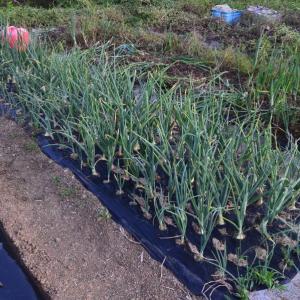 固定種野菜、奥州玉葱を収穫してBBQ&呑み呑みでッス