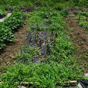 固定種野菜、奥州玉葱の収穫