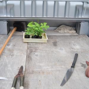 四角豆(うりずん豆)の定植