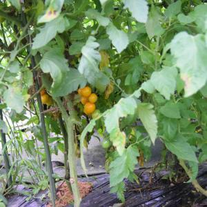 雨がやんでいる隙に野菜を収獲