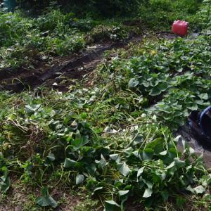 サツマイモ植え直し&可哀そうなイノシシ