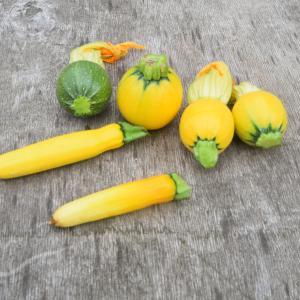 チビズッキーニの収穫