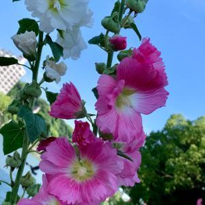 立葵とカシワバアジサイとこれは何?