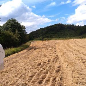 ウンカ被害の三角の田圃と長い田圃の稲刈り