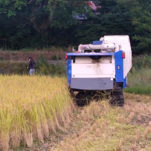 長男の稲刈り 初収穫のコシヒカリ