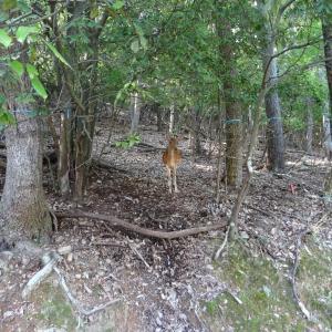 宝ヶ池の鹿-2