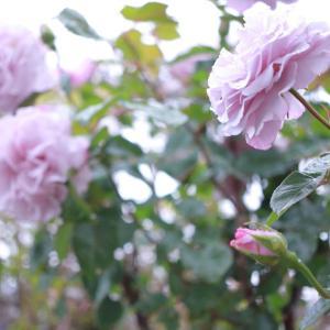 薔薇を待って…