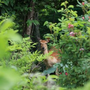 庭に小鹿さん☆そして雛ちゃんも
