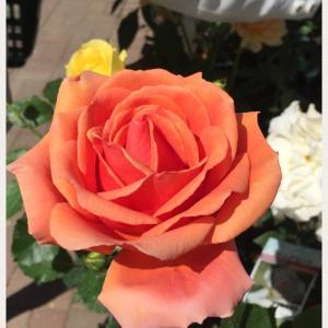 薔薇は素敵