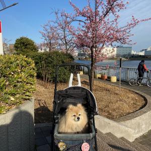 近所の河津桜
