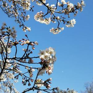 桜、青空、月♪
