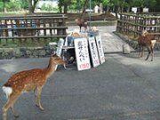 【奈良】「鹿せんべい依存症」の兆候、観光客減で激やせのシカ