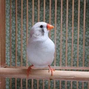 錦華鳥 販売と ブログに関して。。