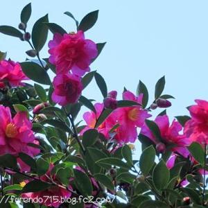 山茶花の咲く山の上から見た我が町は・・・♪