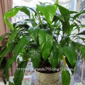冬場はジャングル~室内で育つ観葉植物・・・♪