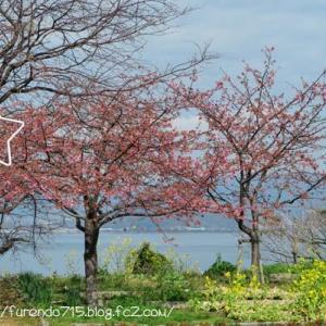 笠戸島大城の河津桜はそろそろ見ごろです・・・♪