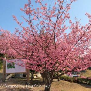 散り始めた上関・城山歴史公園の河津桜・・・♪