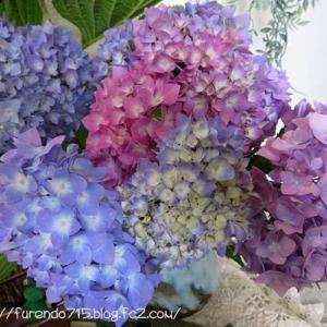 秋色紫陽花の「霧島の恵」と届いたアベノマスク・・・♪