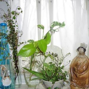 観葉植物を水挿しで育てましょう・・・♪