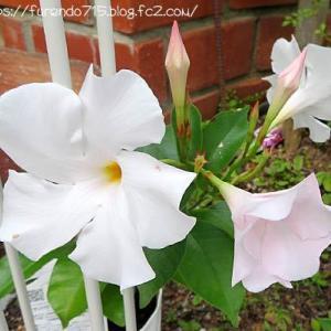 7月の庭に咲く花・・・♪