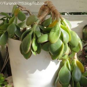 一晩で凍傷被害の植物たち・・・♪