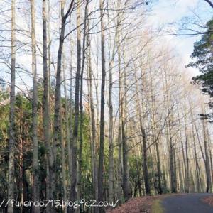 真冬の静寂の中で凛として佇むタイワンフウの樹・・・♪