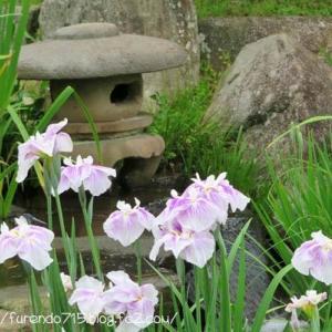 見ごろの花しょうぶ園を歩いてきました・・・♪