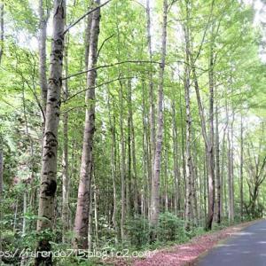 緑爽やかなタイワンフウの林・・・♪