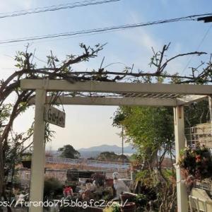 白木香バラの古い元枝を剪定しれシュートを誘引です・・・♪