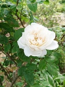 庭のバラとドライに最適な花