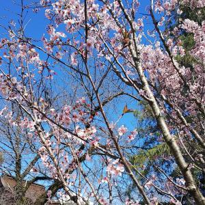 ちょこっと(笑)桜&富士山☆