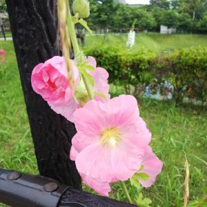 タチアオイに神社参拝のはしご(笑)☆
