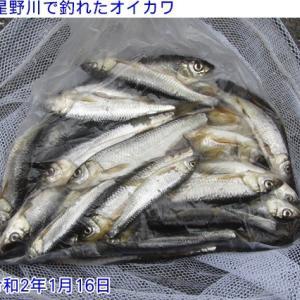 星野川で釣れたオイカワ