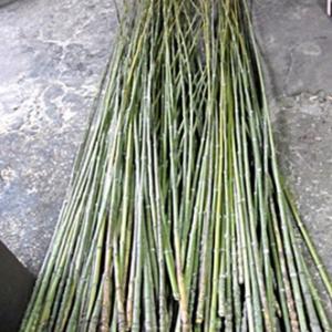 今月は短い布袋竹延べ竿を竹林から伐り出しています