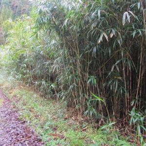 矢竹 最近の竹林は手入れが届かず荒れています