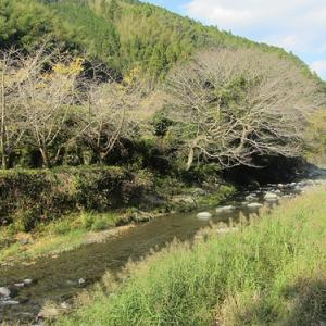 横山川は季節の変化により紅葉が終わっています