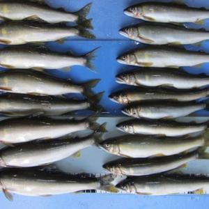 矢部川で釣れた鮎の釣果
