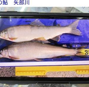 鮎の釣果&星野川夕方の水量