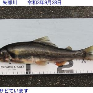 矢部川鮎の釣果