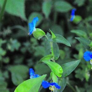 つゆ草の青