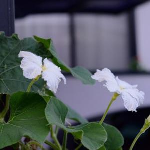 かんぴょうの花